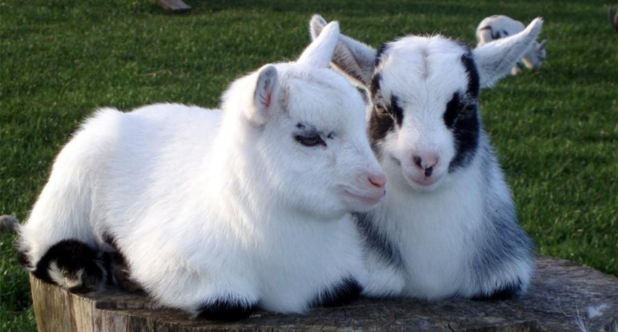 Goat Milk Face Cream