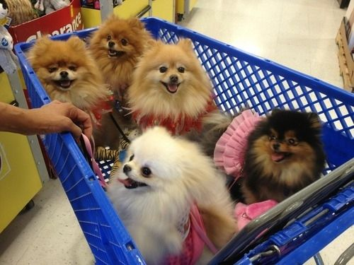 Pomeranians In Shopping Cart