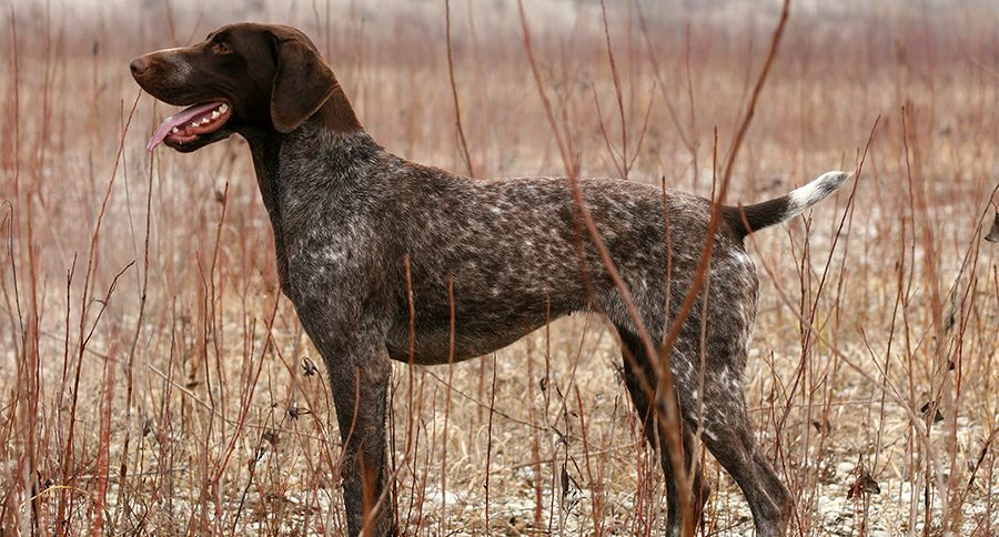 German Shorthaired Pointers Everything You Need To Know