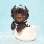 10 Cutest Teacup Dogs That Can Fit In Your Pocket