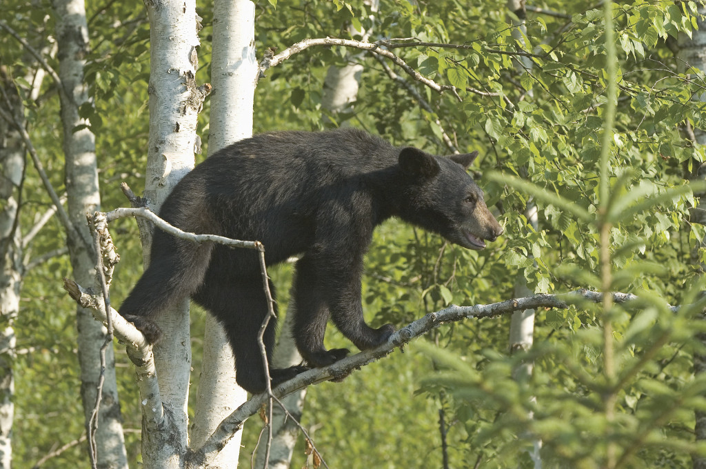 Bear Climbs Tree Tree Hunter