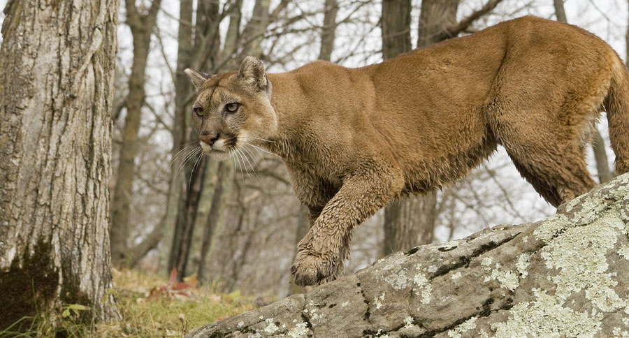 Image result for michigan cougar