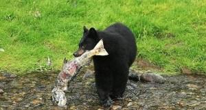 California Man's Body Eaten By Black Bear