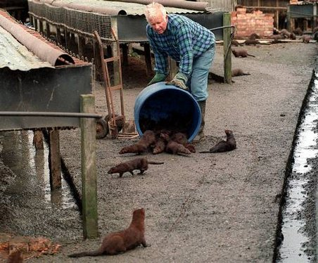 Virus hits Newfoundland mink farms Wasting disease likely to require cull of female animals