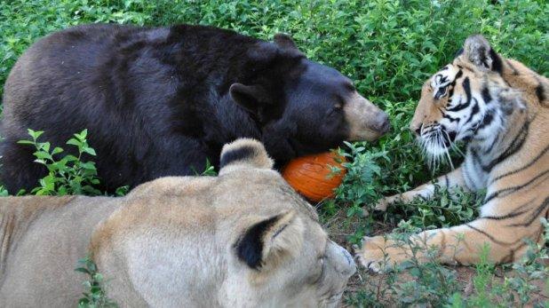 Popularmente se los conoce a los tres animales como BLT