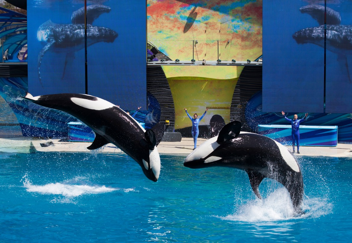 Trainers have Orca killer whales perform for the crowd during a show at the animal theme park SeaWorld in San Diego, California March 19, 2014. (REUTERS/Mike Blake)