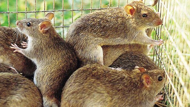 Ilustrasi tikus sawah