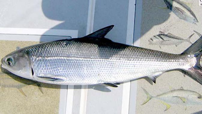 Mengenal Jenis Ikan Air Tawar Part 1 Lifestyle Fimela Com