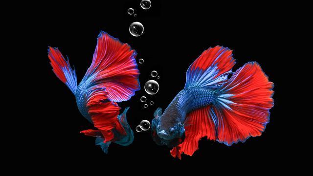 6 Cara Membedakan Ikan Cupang Jantan Dan Betina Perhatikan Bentuk Fisik Hot Liputan6 Com