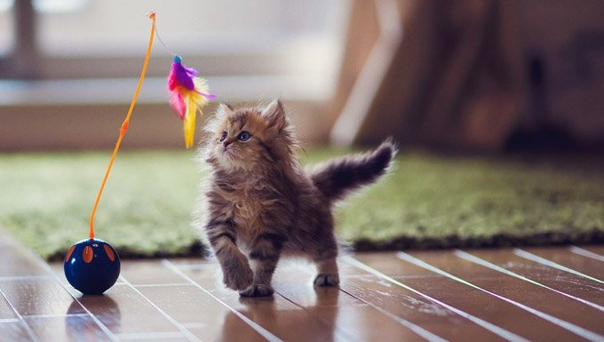 kitten playing with cat toys
