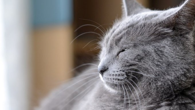 Grey medium hair cat laying on a chair squinting.