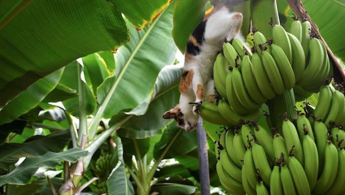 Cat in banana tree
