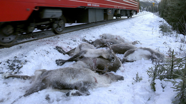 reindeer run over by train