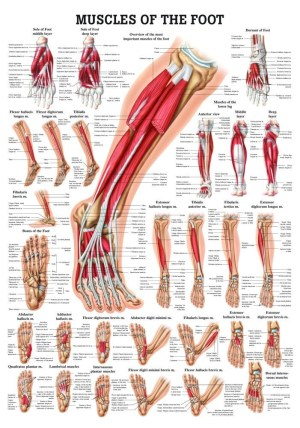 Human Muscles of the Foot Poster  Clinical Charts and Supplies