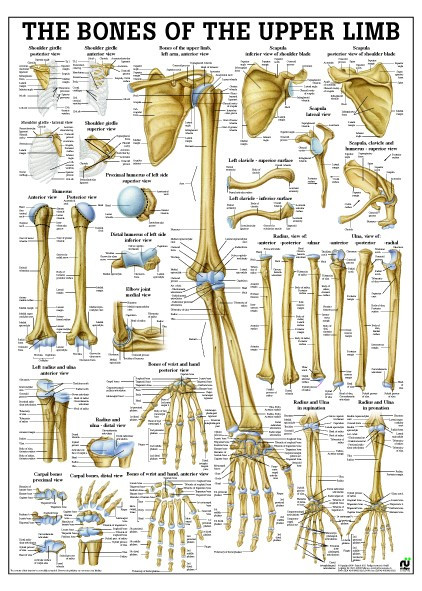 Bones of the Upper Limb Poster - Clinical Charts and Supplies