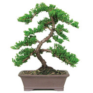 Ginkgo Biloba Outdoor Bonsai Outlet
