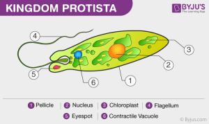 Protists  Characteristics and Classification of Kingdom Protista