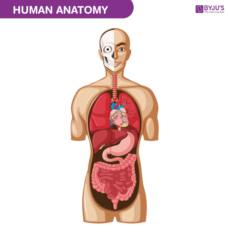 Human Body Anatomy And Physiology Of Human Body