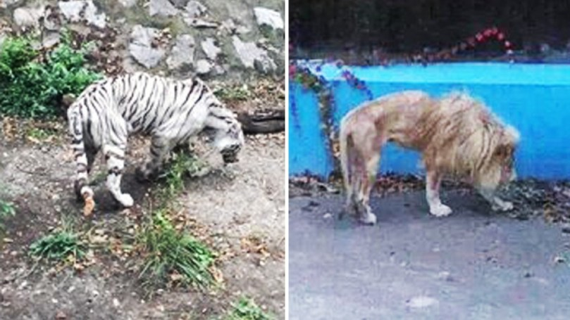 Gaunt lion and tiger at Beijing Zoo not neglected  just inbred  says     Nectar Gan