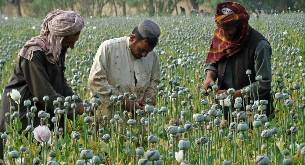 In this picture taken on Monday, April 21, 2014, Afghan farmers slice open the green poppy bulbs, swollen with raw opium, the main ingredient in heroin, on a poppy field in Helmand province, southern Afghanistan
