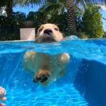 Future Champion Adorable Golden Retriever Puppy Nails Swimming Lesson Sputnik International