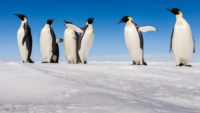 Araştırma: Küresel ısınma imparator penguenleri yok edebilir