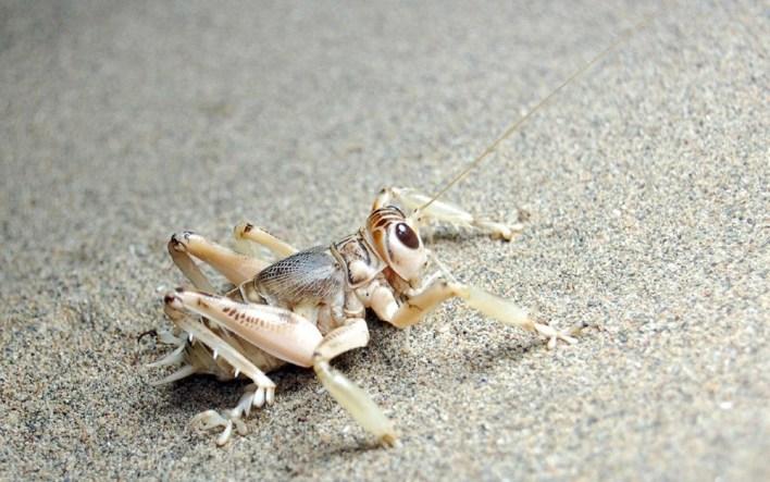 'Sand cricket' introduces the cannabis locust to the world - 10