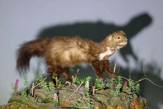 Van'da yaban hayvanları tahnit sanatıyla müzede tanıtılacak - 4