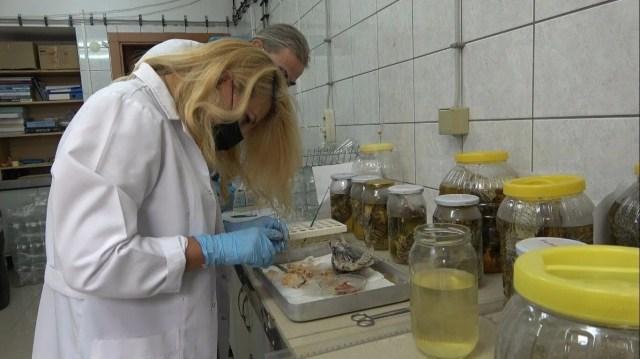 İstilacı, zehirli aslan balığı Akdeniz'i tehdit ediyor - 11