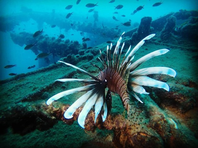 Kızıldeniz'den, Akdeniz'e göçen balık türü 65'e çıktı - 7