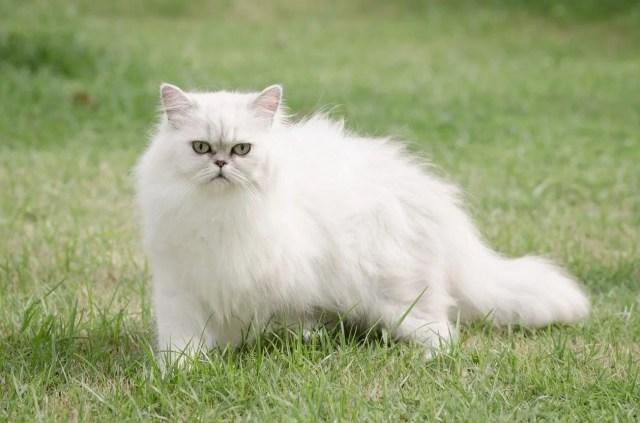 Araştırma: Bütün kedi ırkları içerisinde en saldırganı Van kedisi - 9