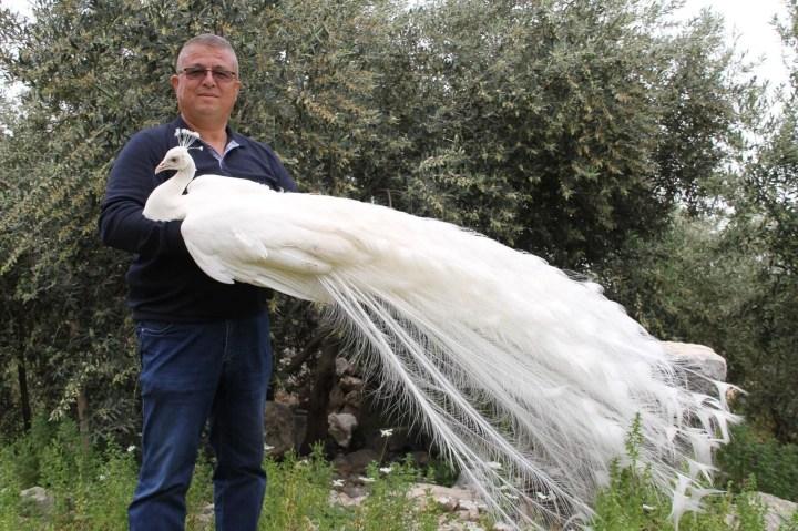 Hobi için tavus kuşu beslemeye başladı, şimdi tanesini 2 bin liradan satıyor - 6