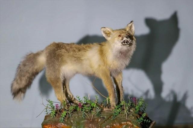 Van'da yaban hayvanları tahnit sanatıyla müzede tanıtılacak - 28