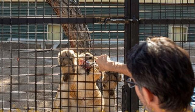Antalya'da telli kamyonetle 'aslan safarisi'ne tepki - 4