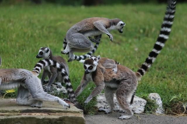 Bursa'daki lemur ailesi büyüyor - 12