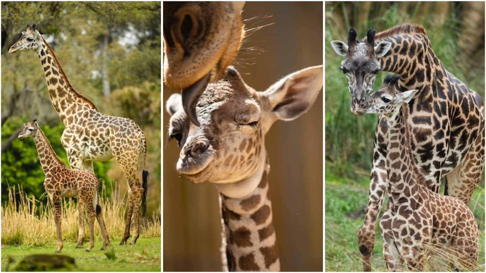 Celebrating Mother Day S With Masai Giraffe Moms And