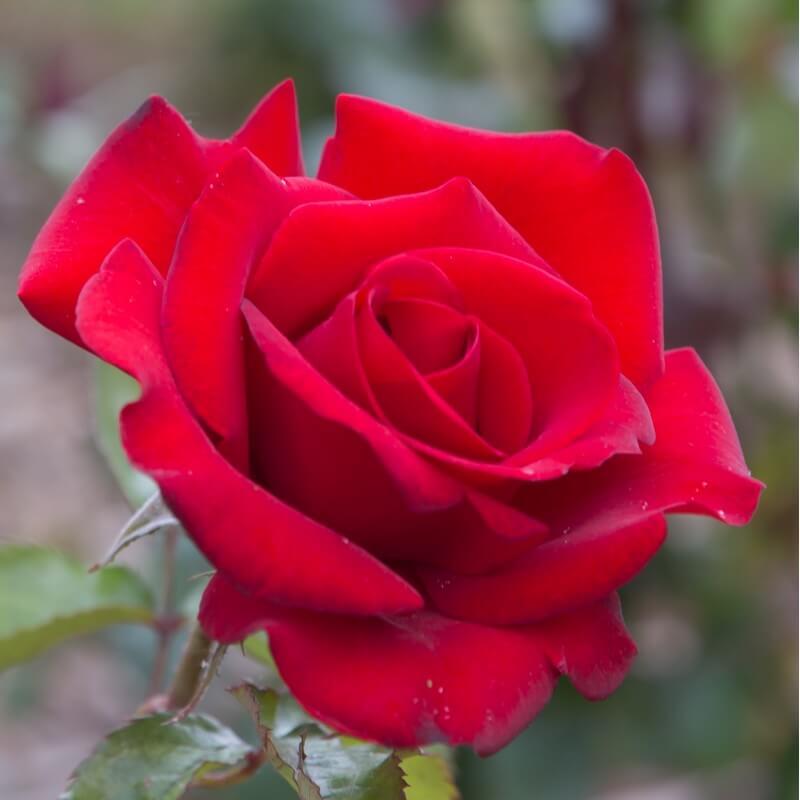 Rosier Grand Huit Rosier Grimpant Grandes Fleurs