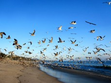 Birds at Doheny State Beach