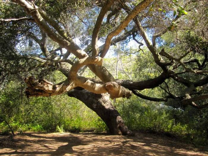 Majestic oak trees