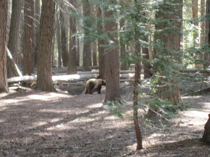 Bear in Little Yosemite Valley