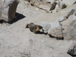 Marmot on Forester Pass