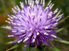 Wild Artichoke Blossom
