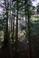 Sunbeams streaming through the redwoods on the Ewoldsen Trail in Big Sur