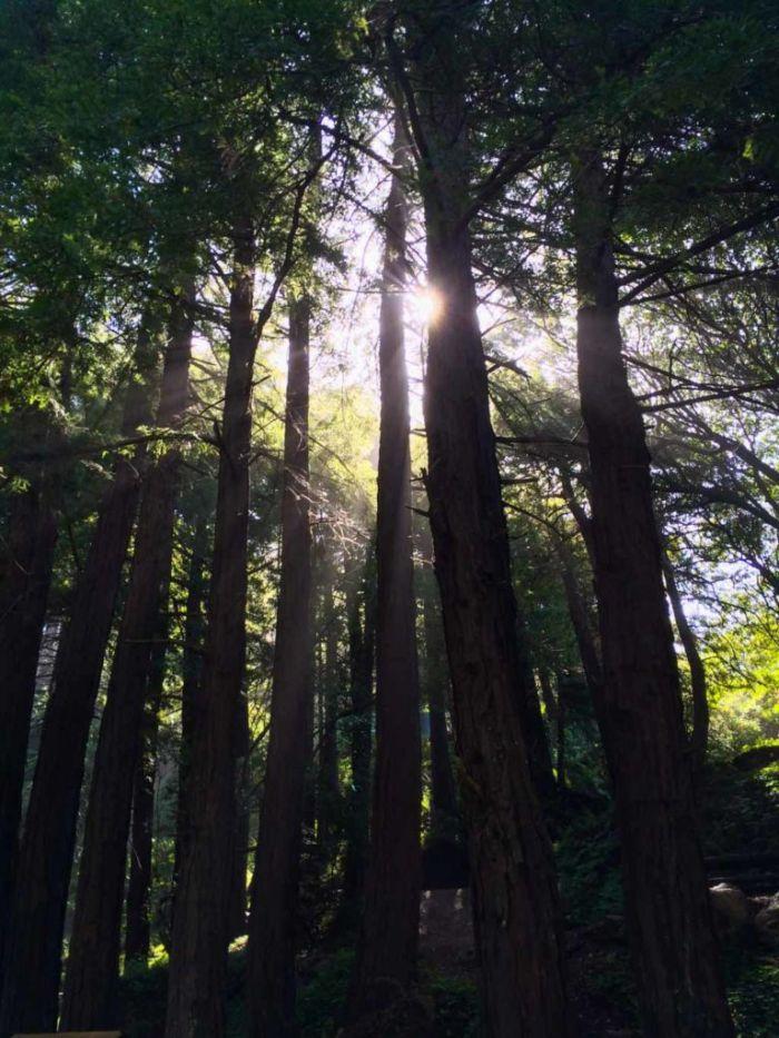 Towering Redwoods in Limekiln State Park