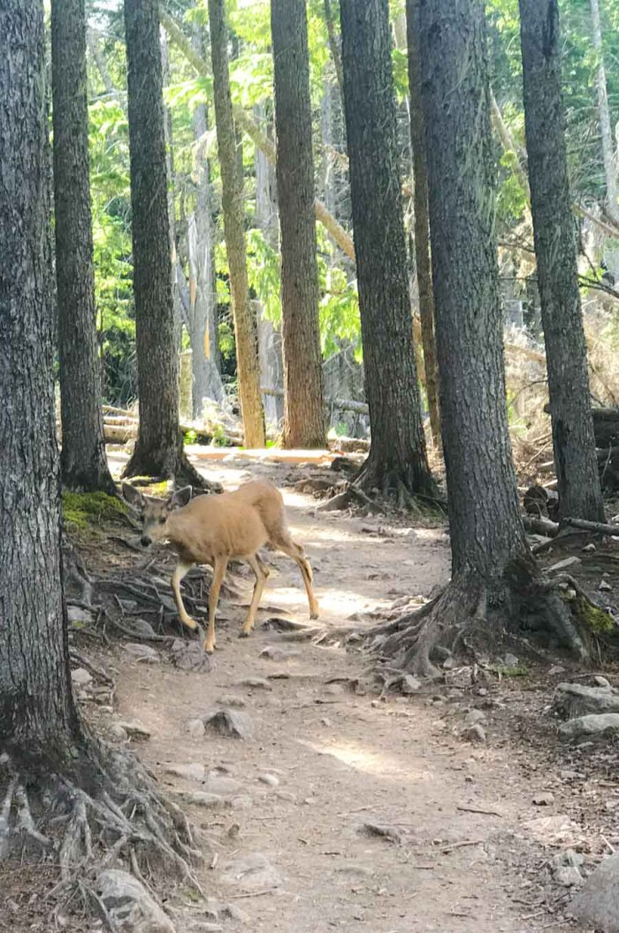 Deer on the trail up to Avalanche Lake