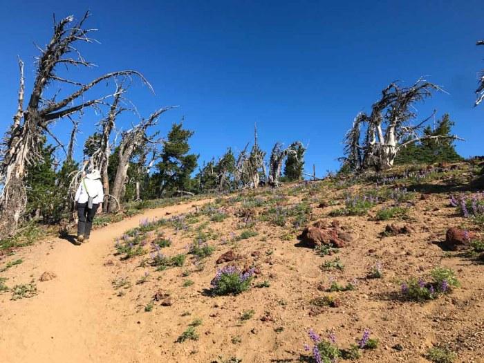 Scraggly trees near the top of Tumalo Mountain