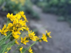 Yellow wildflowers on the Black Butte Trail