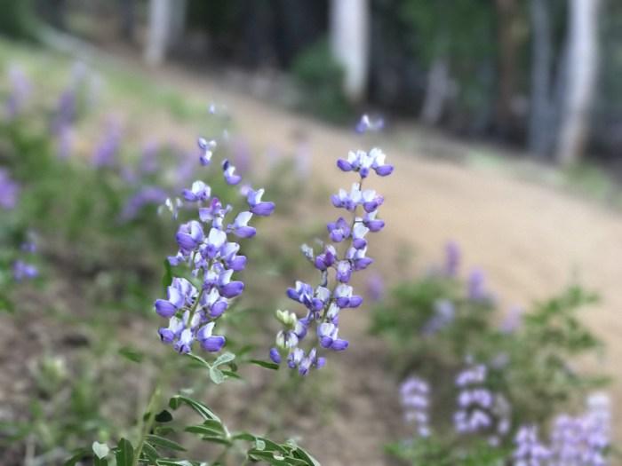Lupine blooms on Tumalo Mountain