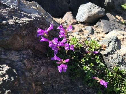 Wildflowers on the Paulina Peak trail