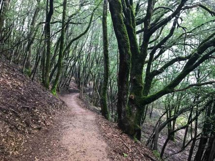 Moss-covered trees on Mt Umunhum